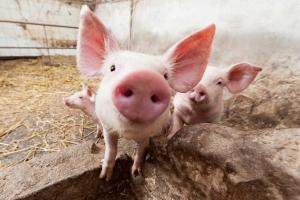Сколько свиней можно держать в личном подсобном хозяйстве?